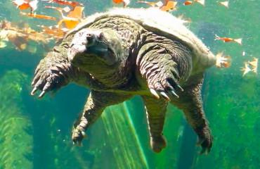 Кайманова черепаха, або кусюча черепаха