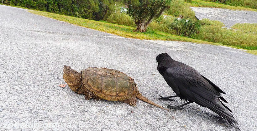 Фото черепахи каймановой