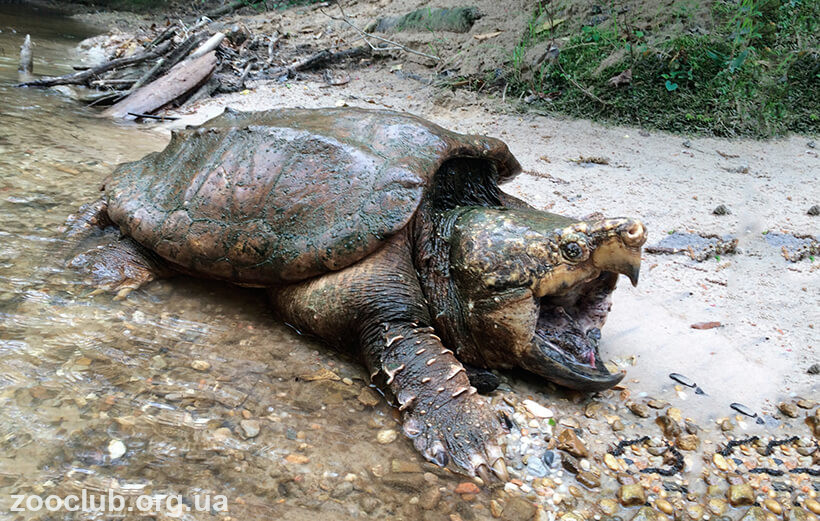 фото грифовой черепахи
