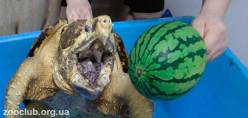 аллигаторовая черепаха