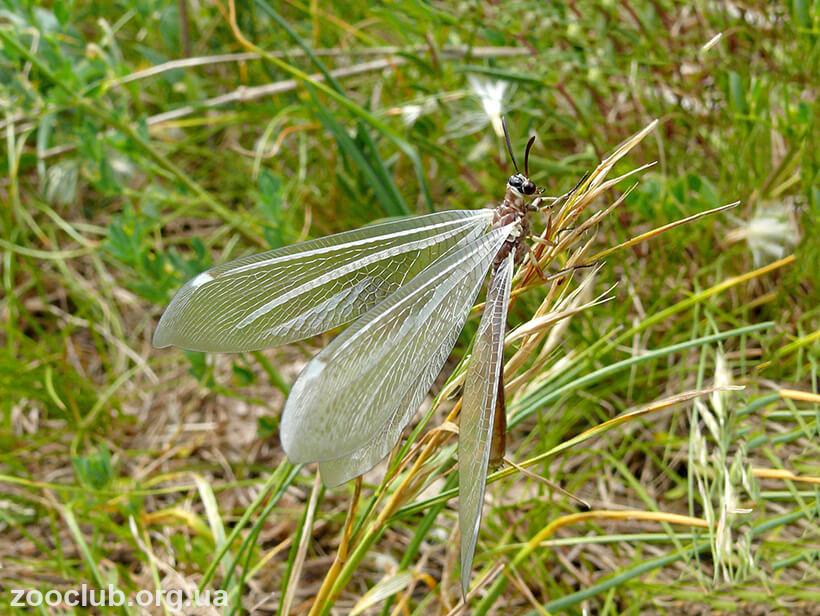 Myrmeleon formicarius