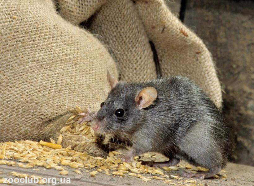 фото крысы черной