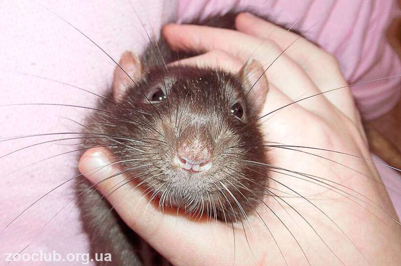 Черная крыса фото