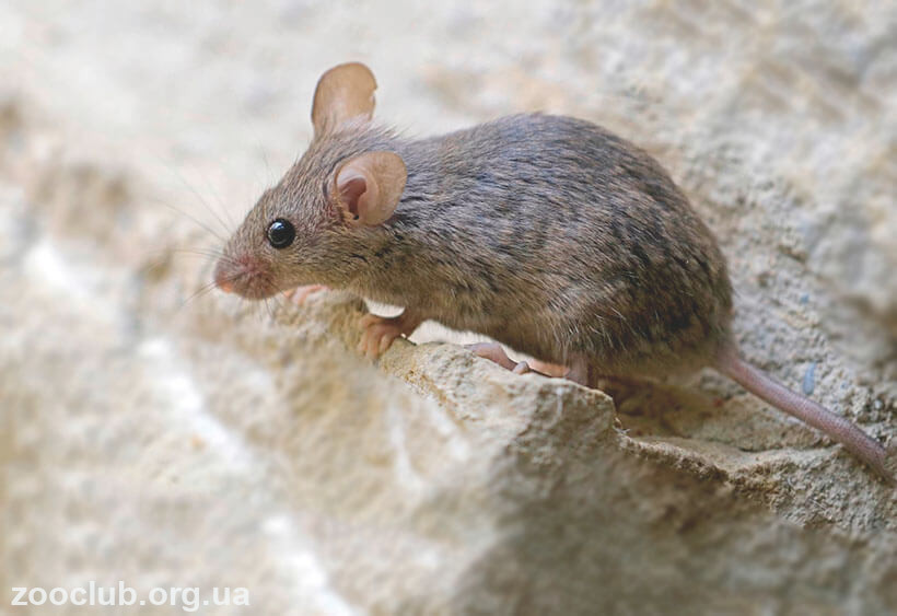 фото серой крысы