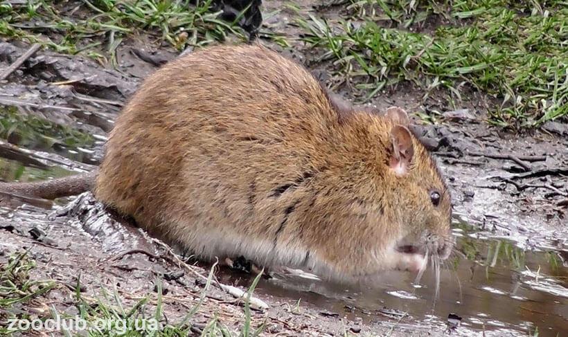 Картинка с серой крысой