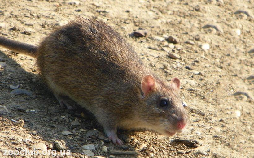 Rattus norvegicus картинка