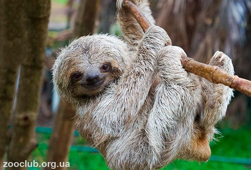 Фото ленивца трехпалого