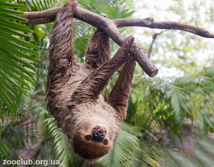 ленивец трехпалый фото
