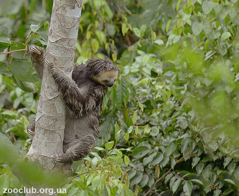 фото трехпалого ленивца