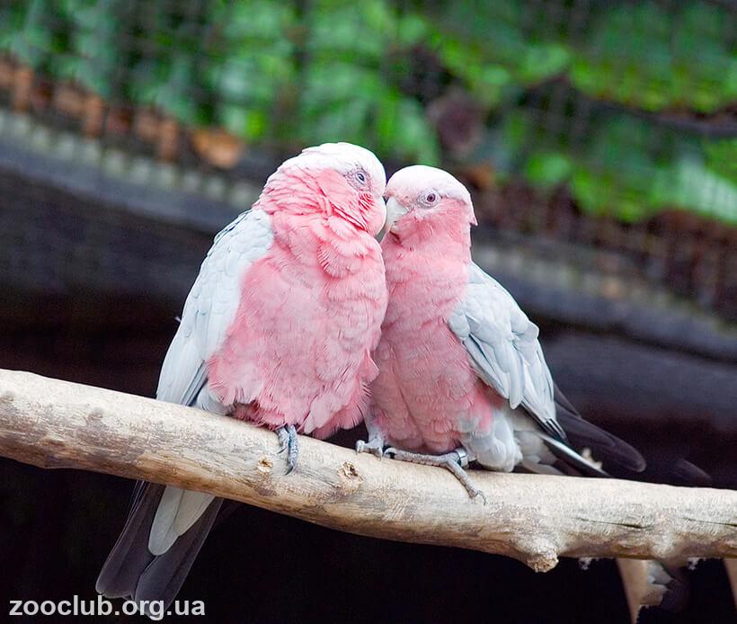 фото какаду розового