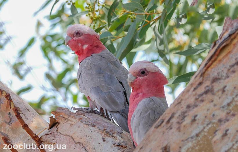 Фото розового какаду