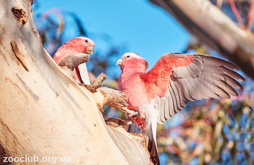 Розовый какаду фото