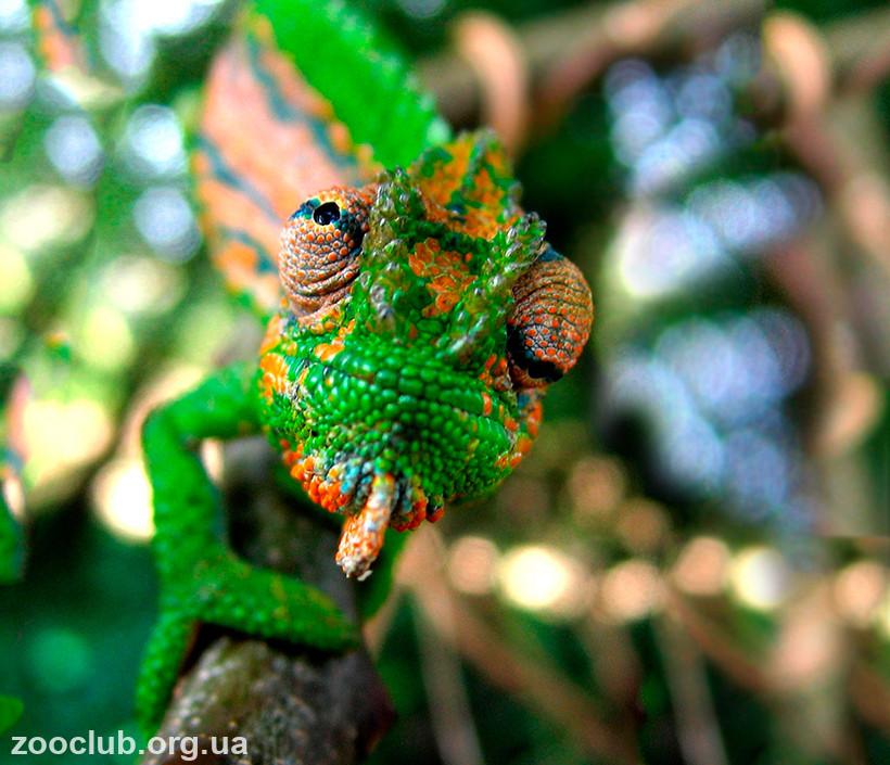 хамелеон горный карликовый фото