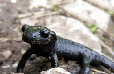 Альпийская саламандра, или черная саламандра