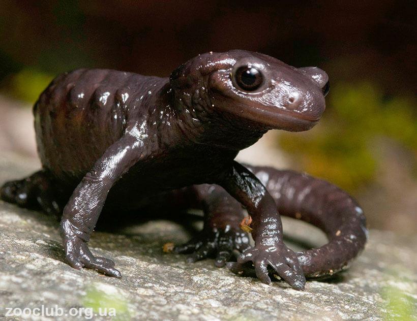 Альпийская саламандра фото