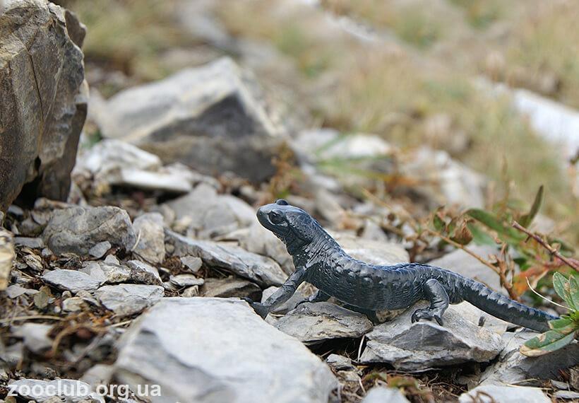 черная саламандра фото