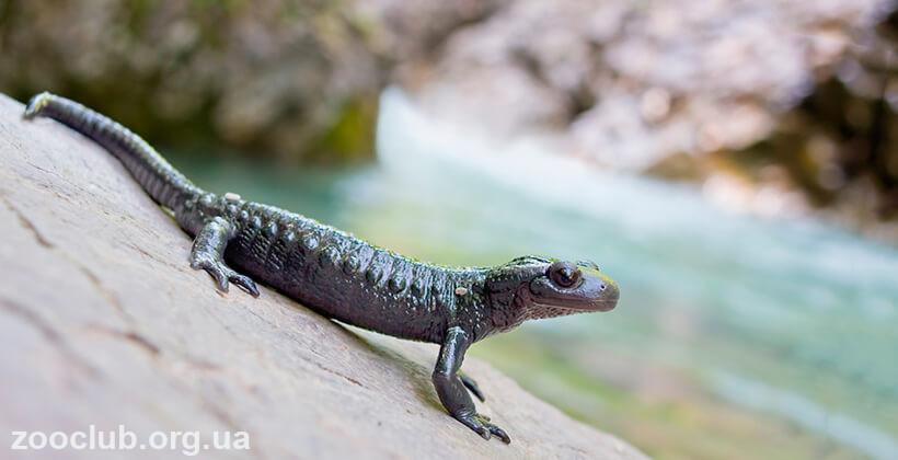фото черной саламандры