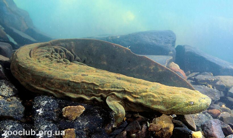 фото саламандры аллеганской