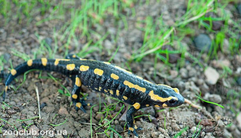 фото Salamandra salamandra