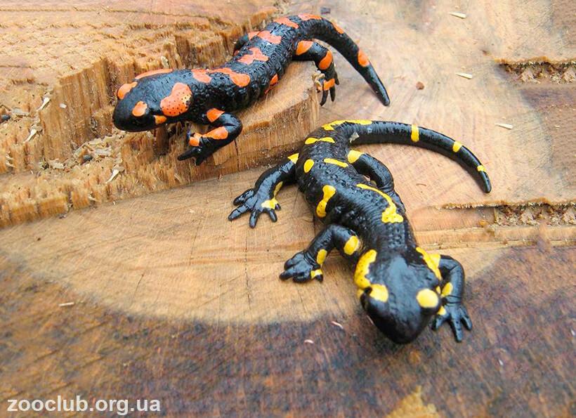 фото саламандры пятнистой