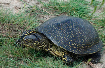 Європейська болотяна черепаха