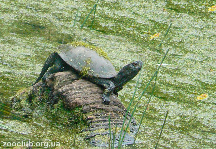 Европейская болотная черепаха фото