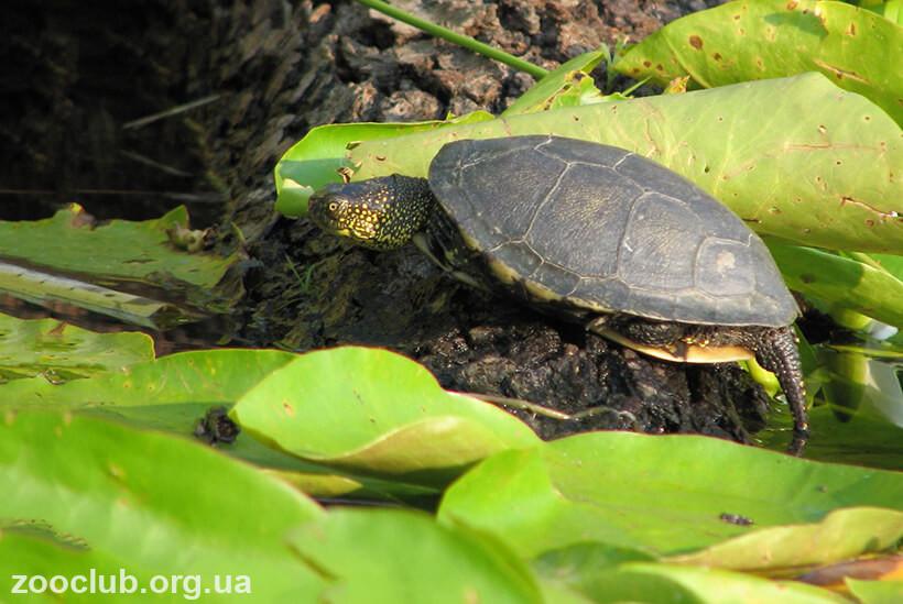 черепаха европейская болотная фото