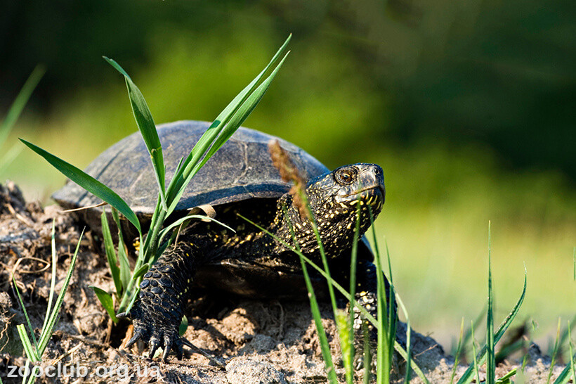 Фото европейской болотной черепахи
