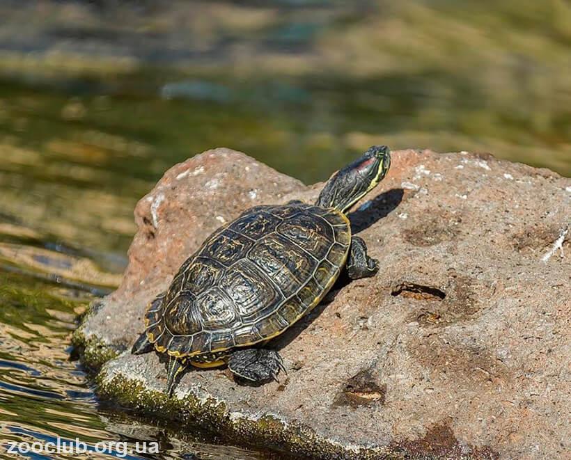 черепаха пресноводная красноухая фото