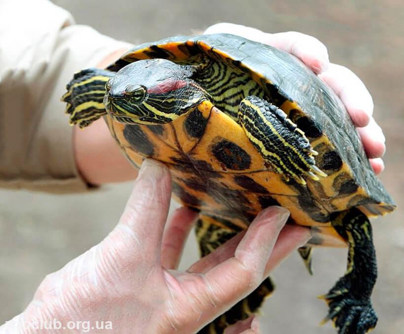 фото черепахи пресноводнаой красноухой