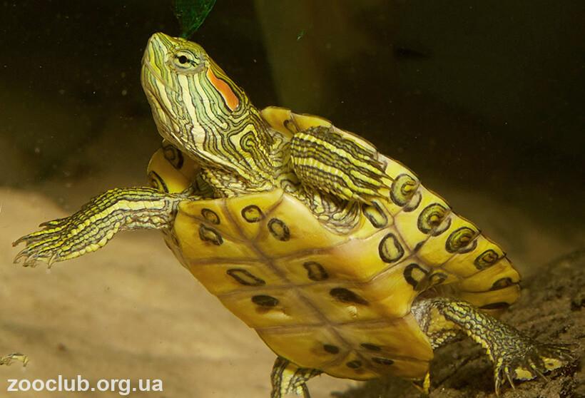 черепаха красноухая пресноводная фото