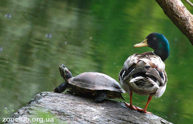 Фото черепахи красноухой пресноводной