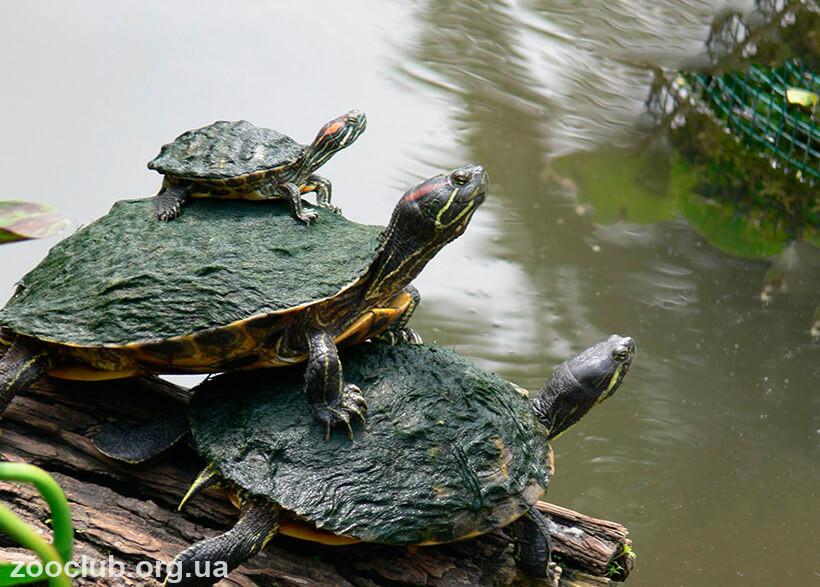 фото красноухой пресноводной черепахи