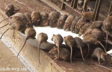 Храм Карни Мата, или храм крыс