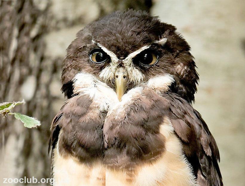 Фото совы очковой