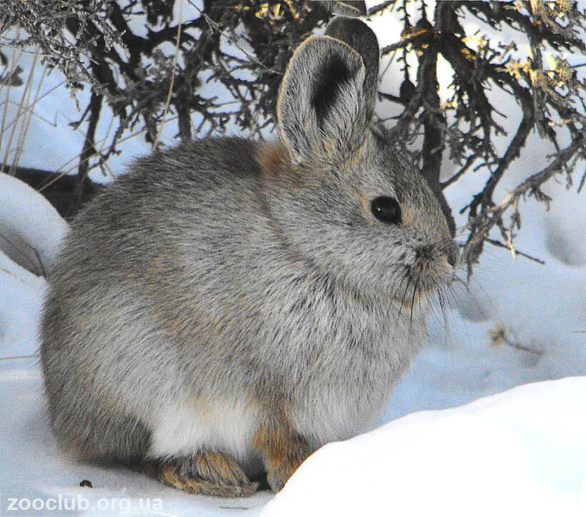 Фото кролика айдахского