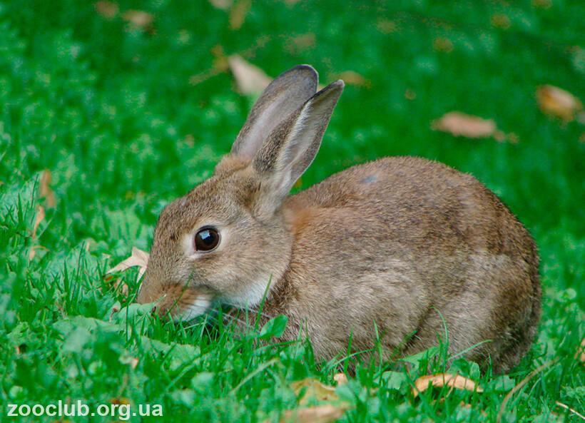 кролик дикий фото