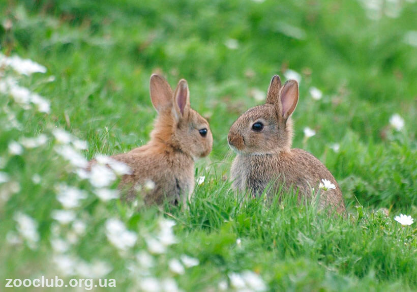 Кролик европейский фото