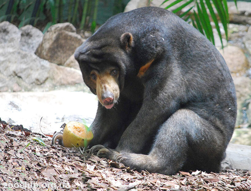 фото малайского медведя