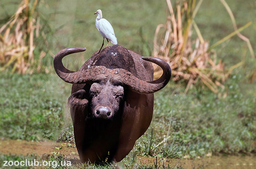 водяной индийский буйвол фото