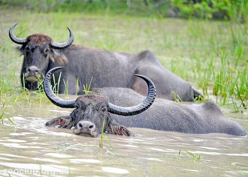 Индийский водяной буйвол