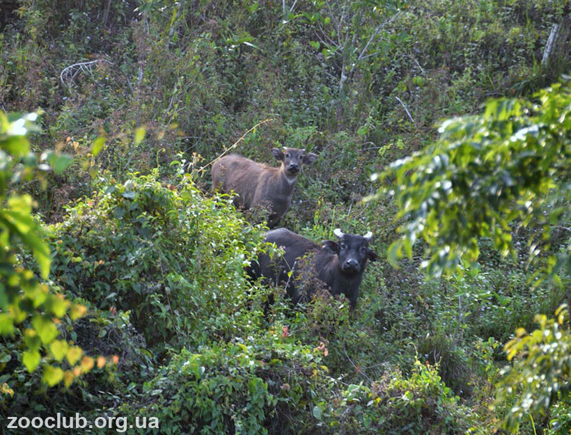 Фото филиппинского буйвола