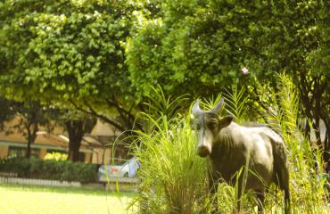 Филиппинский буйвол, или тамарау
