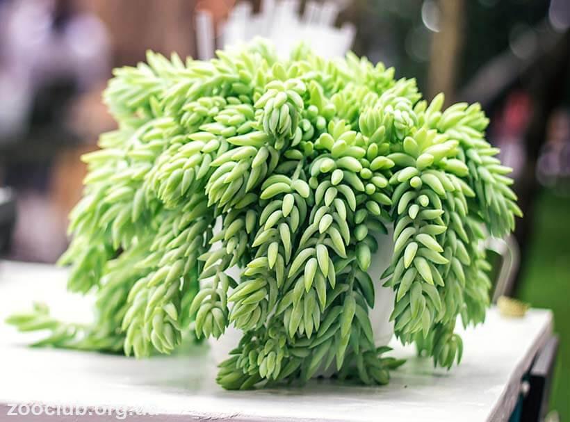 Суккулент Ослиный хвост фото