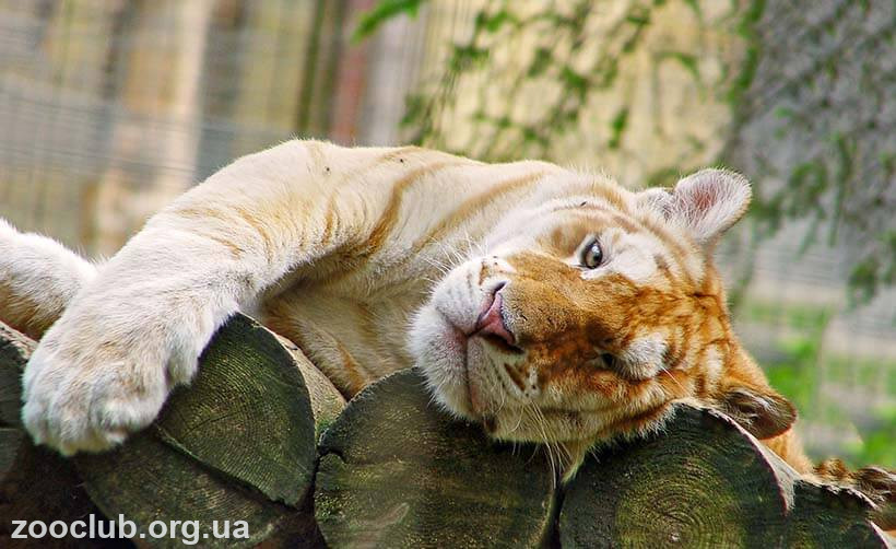 Фото Золотых тигров