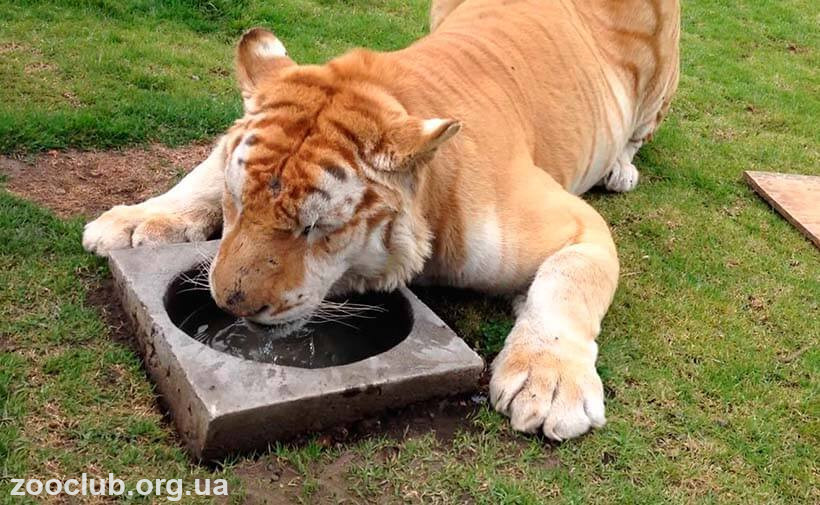 Картинка с золотым тигром