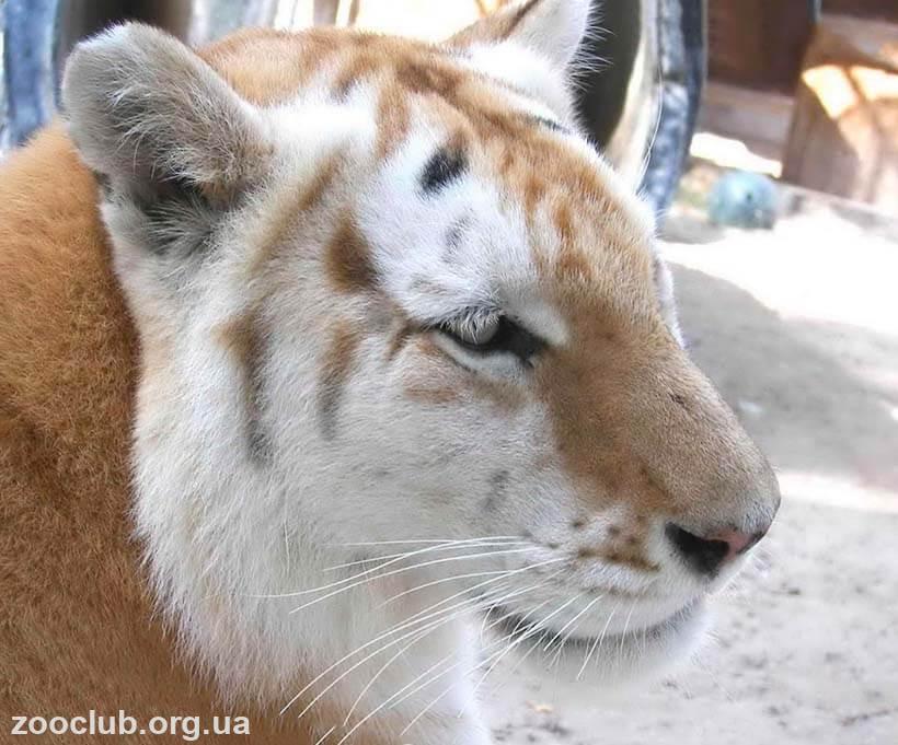 Золотые тигры фото