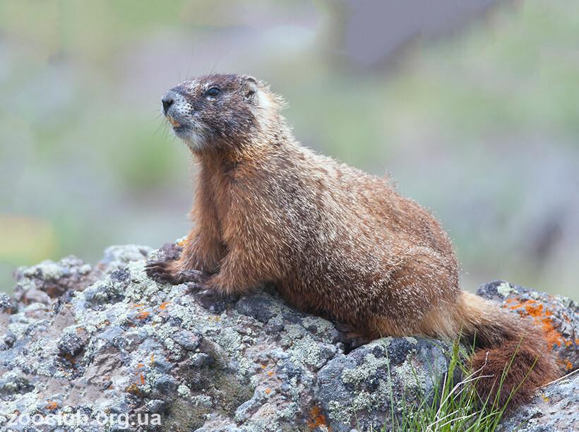 Marmota flaviventris картинка