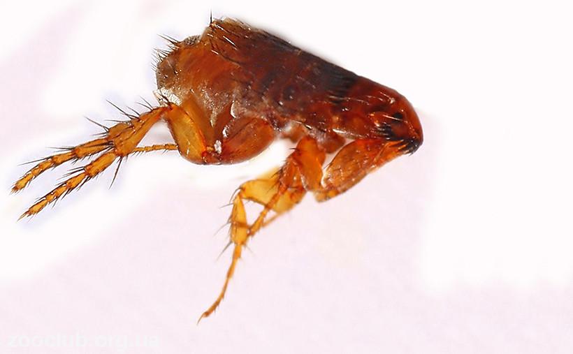 Ctenocephalides felis фото