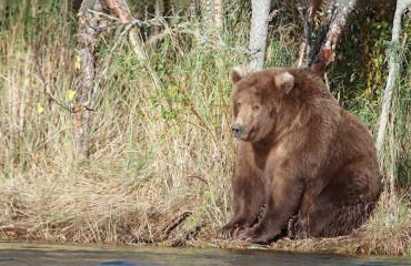 Ведмідь бурий кадьяцький